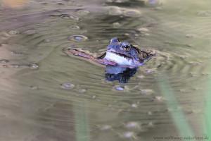 Durch die Bewegungen des Kehlsacks werden die Paarungsrufe erzeugt, es bilden sich kreisförmige Wellen im Wasser.