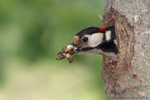 Die Kotballen der Jungen werden durch die Altvögel entsorgt.